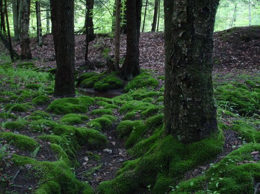 Moss growing in the Allegheny National Forest, near Tionesta (Courtesy Ivo Shandor, via Wikimedia Commons, public domain)